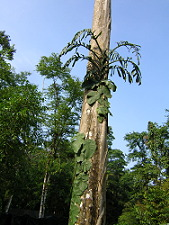 Polymorphic plant form at La Selva